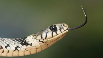Terreur chez les beaux-parents ! Elle surprend un immense serpent dans la cuvette des toilettes